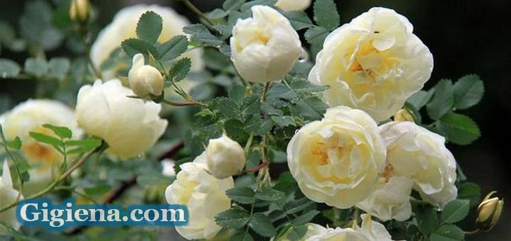 белые чайные розы