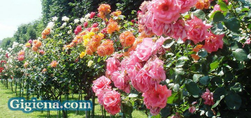 чайная роза домашняя