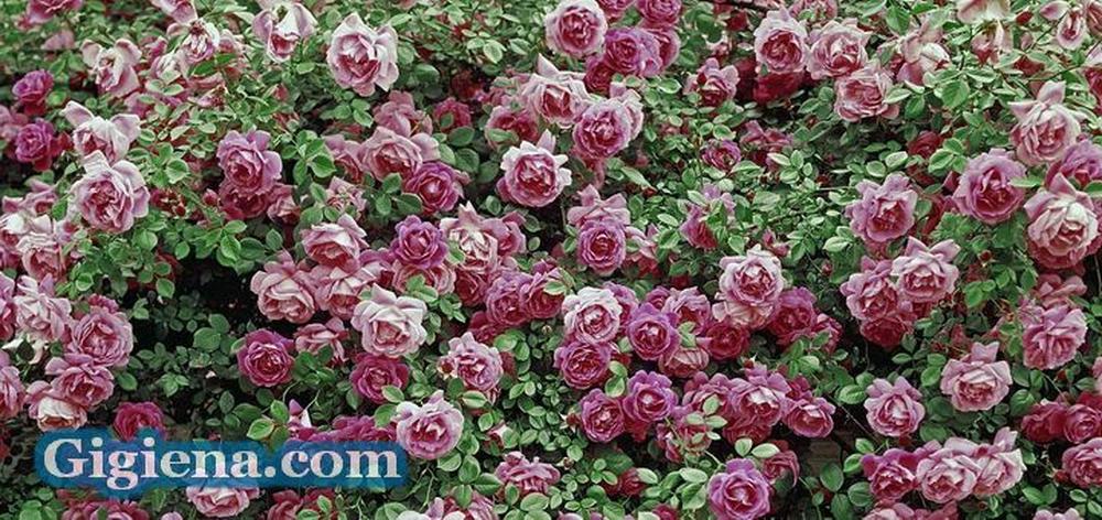 цвет чайной розы