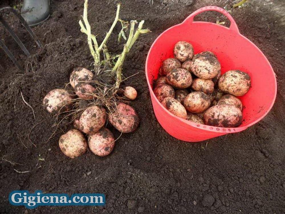 картофель сорт луговской фото