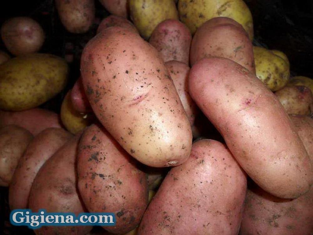 картофель сорт отрада фото