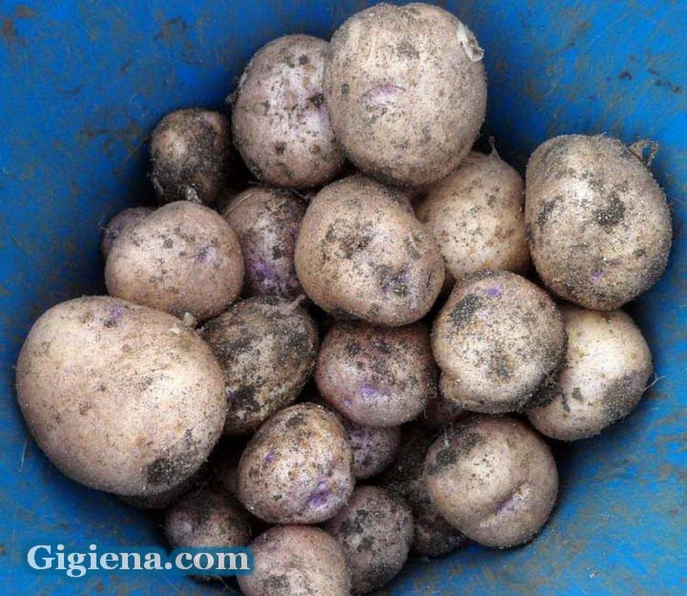 картофель сорт синеглазка фото