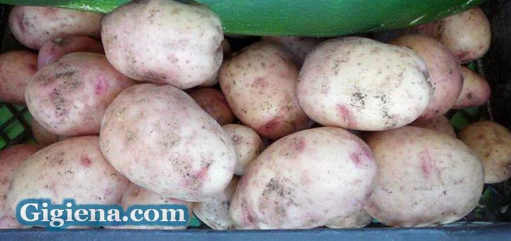 картофель сорт снегирь фото