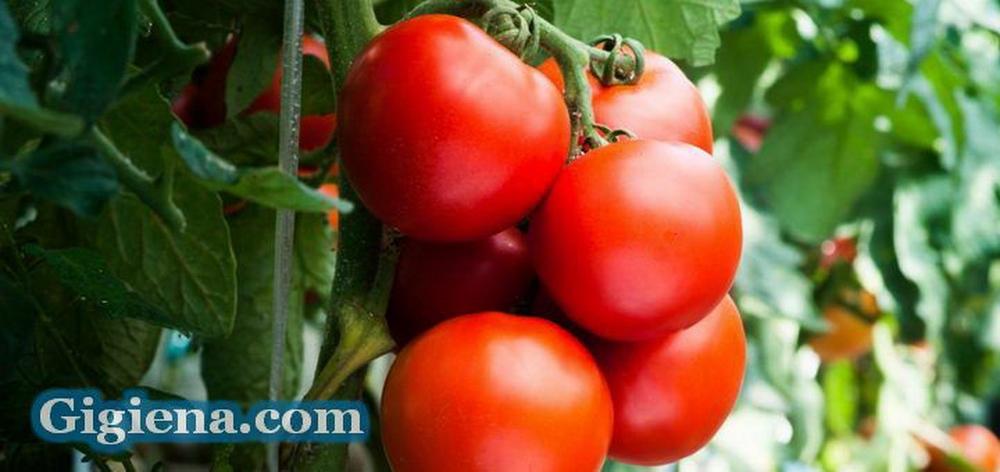 выращиваем томаты в подмосковье