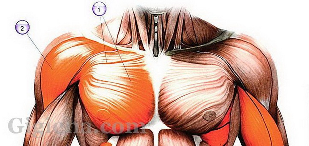 Анатомия и физиология костно-мышечной