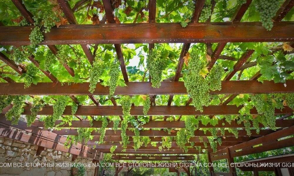 пергола для винограда