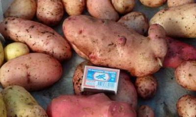 наш картофель