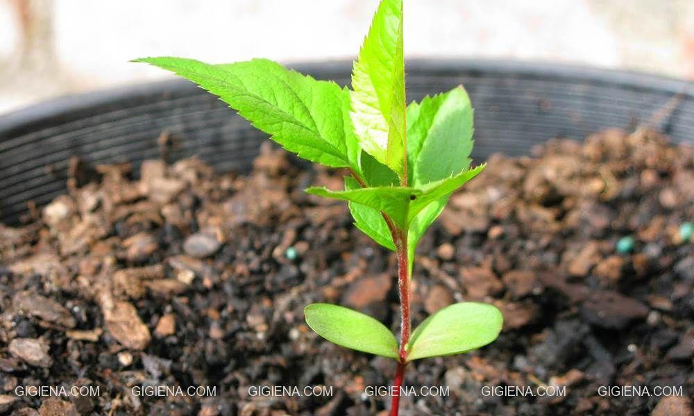 вырастить яблоню из семечка