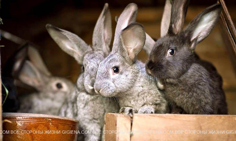кролики разведение